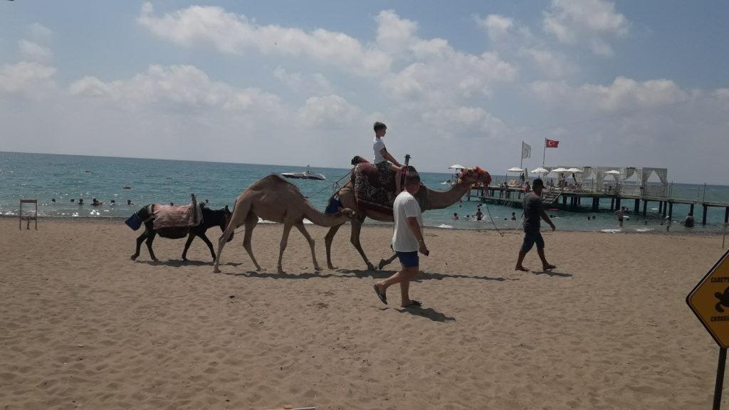 Верблюд с верблюжонком