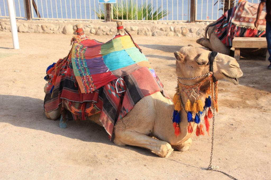 Верблюд на Мёртвом море
